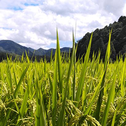 安心、安全な無農薬・特別栽培米の玄米